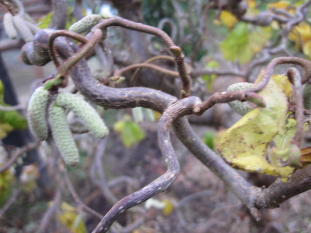 native-irish-trees-corylus-avellana